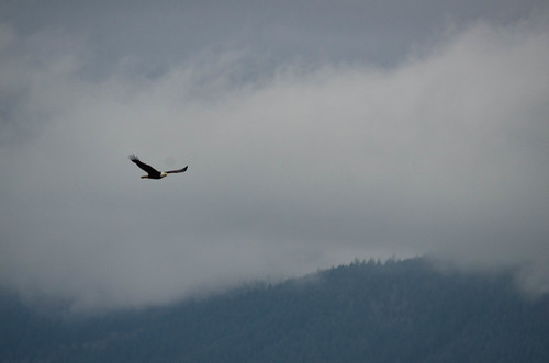 Eagles in Skagit Valley-006