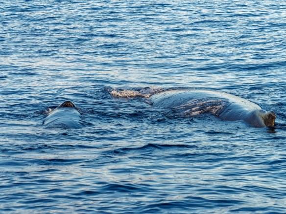 Humpback Whale Mom & Baby