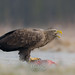 White-tailed eagle - Europese zeearend