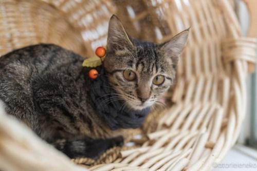 アトリエイエネコ Cat Photographer 26084552958_dd058de331 1日1猫!高槻ねこのおうち 里親様募集中のリンちゃん♪ 1日1猫!  高槻ねこのおうち 里親様募集中 猫写真 猫 子猫 大阪 写真 保護猫 マフラー スマホ キジ猫 カメラ Lightroom Kitten Cute cat