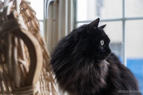 アトリエイエネコ Cat Photographer 28177611639_9cc3f56661 1日1猫!高槻ねこのおうち 里親様募集中のくろのすけくん♪ 未分類  黒猫 高槻ねこのおうち 里親様募集中 猫写真 猫 大阪 写真 保護猫 カメラ Kitten Cute cat
