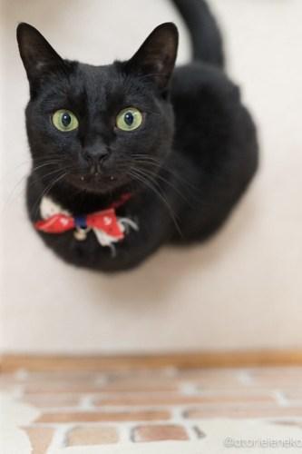 アトリエイエネコ Cat Photographer 26485437558_bf74178f4e 1日1猫!猫カフェきぶん屋さんに行ってきました♪(1/3) 1日1猫!  里親様募集中 猫写真 猫 子猫 大阪 写真 兵庫 保護猫カフェ 保護猫 キジ猫 カメラ きぶん屋 Kitten Cute cat