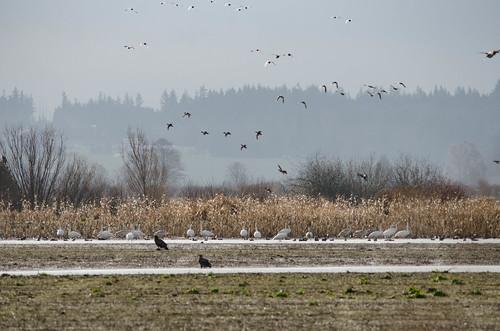 Skagit Water Birds