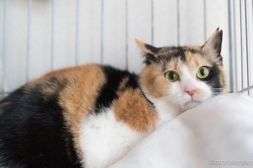 アトリエイエネコ Cat Photographer 40219576901_f37c159635 1日1猫!おおさかねこ俱楽部 新入りのるみちゃん🎶 1日1猫!