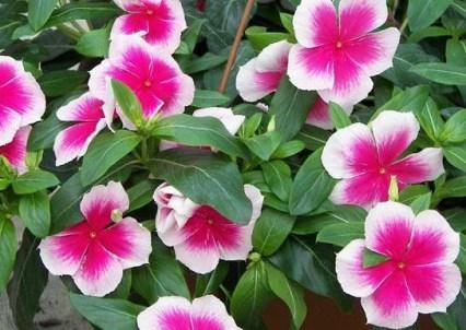 Khasiat Bunga Tapak Dara Bagi Penderita Leukimia