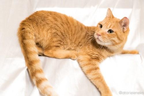 アトリエイエネコ Cat Photographer 39246985994_4a739dcc91 1日1猫!高槻ねこのおうち「嬉しいこと」 1日1猫!  高槻ねこのおうち 里親様募集中 猫写真 猫 子猫 大阪 写真 保護猫 カメラ Kitten Cute cat