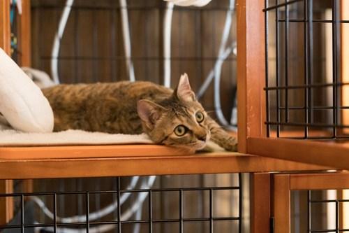 アトリエイエネコ Cat Photographer 39756850172_bf9a1376d0 1日1猫!CaraCatCafe美人で甘えん坊ののちゃん! 1日1猫!  里親様募集中 箕面 猫写真 猫 子猫 大阪 写真 保護猫カフェ 保護猫 スマホ キジ猫 カメラ Kitten Cute cat caracatcafe