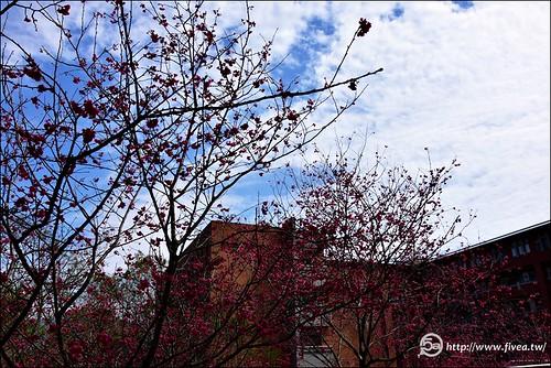 暨南大學櫻花