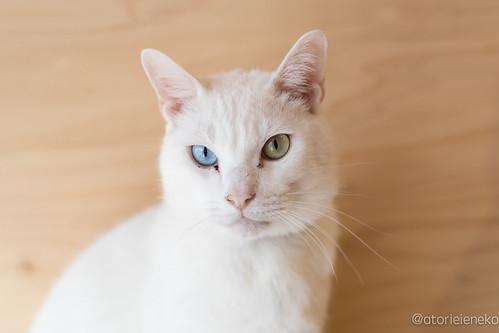 アトリエイエネコ Cat Photographer 38364596305_b93f0498b4 1日1猫!里親様募集中のしお君です! 1日1猫!  里親様募集中 白猫 猫 大阪 保護猫 ニャンとぴあ cat