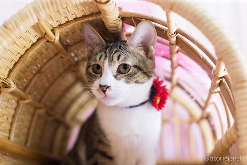 アトリエイエネコ Cat Photographer 39389598282_42248f950c 1日1猫!高槻ねこのおうち 里親様募集中空君 1日1猫!  高槻ねこのおうち 里親様募集中 猫 大阪 写真 保護猫カフェけやき 保護猫 スマホ カメラ cat
