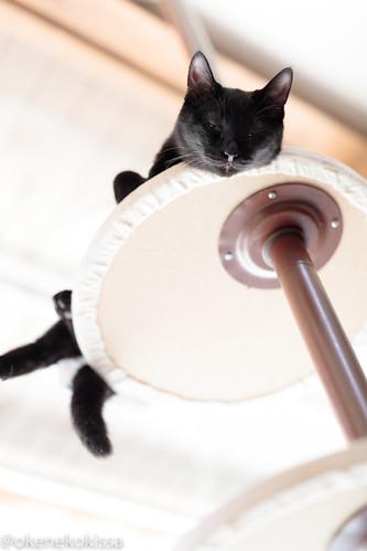 アトリエイエネコ Cat Photographer 39387546561_57e333820a 保護猫譲渡カフェ 和風桶猫喫茶 with ラブファイブ