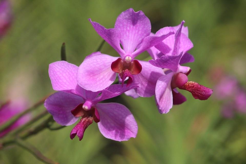 Orchid - Cebu Safari & Adventure Park