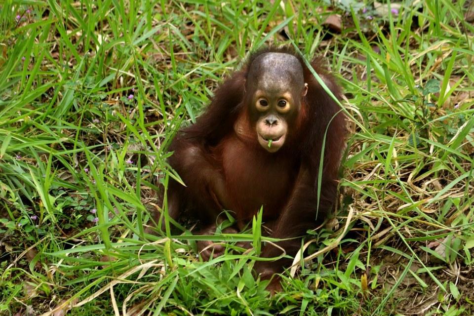 Orangutan - Cebu Safari & Adventure Park