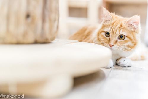 アトリエイエネコ Cat Photographer 25517257178_8e41cfde67 譲渡型猫CAFEねこの木