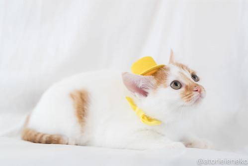 アトリエイエネコ Cat Photographer 27312907379_d6abec343f 1日1猫!里親様募集中のミルクちゃんです♪♪ 1日1猫!  里親様募集中 猫写真 猫 子猫 大阪 写真 保護猫 スマホ カメラ おおさかねこ倶楽部 cat