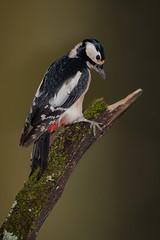 Buntspecht / Woodpecker high-res ( view large - original File )