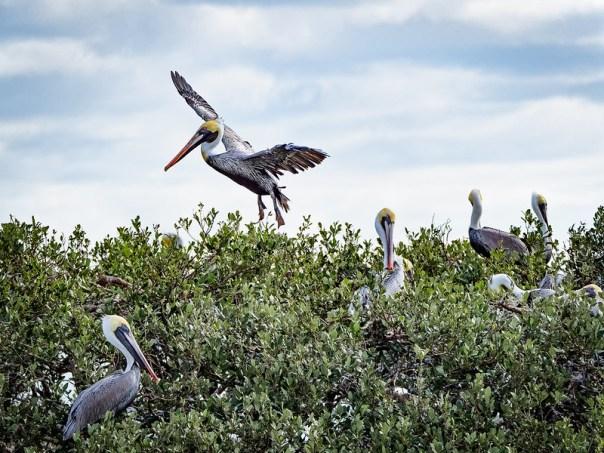 Pelican landing at Rookery