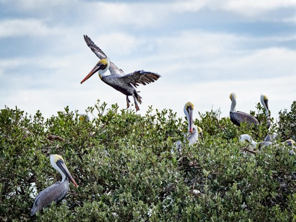 Pelican landing at Rookery