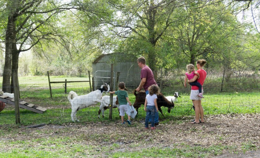 A Tribe of Goats at Horsing Around Ranch in Lake Suzy, Fla.