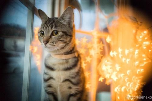 アトリエイエネコ Cat Photographer 38530420090_4bf6b7d44a 1日1猫!高槻ねこのおうち お声がかかったリボンちゃん♪ 1日1猫!  高槻ねこのおうち 里親様募集中 猫写真 猫 子猫 大阪 写真 保護猫 キジ Kitten Cute cat