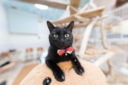 アトリエイエネコ Cat Photographer 26485400968_d0bbb21bf9 1日1猫!猫カフェきぶん屋さんに行ってきました♪(1/3) 1日1猫!  里親様募集中 猫写真 猫 子猫 大阪 写真 兵庫 保護猫カフェ 保護猫 キジ猫 カメラ きぶん屋 Kitten Cute cat