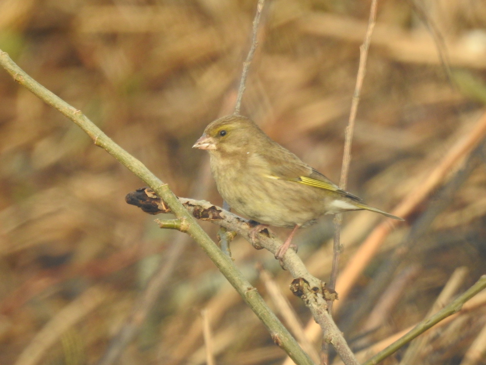Greenfinch standing proudly