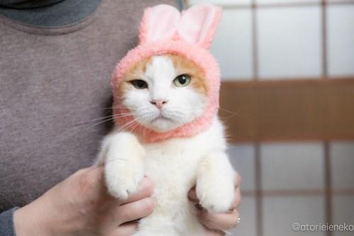アトリエイエネコ Cat Photographer 28440219949_a3c6f1fb2e 1日1猫!おおさかねこ俱楽部 里親様募集中のみのりちゃん🎶 1日1猫!  里親様募集中 猫写真 猫 子猫 大阪 写真 保護猫 おおさかねこ倶楽部 Kitten Cute cat