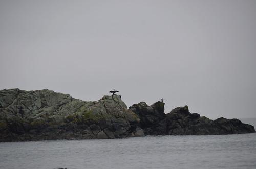 Nanaimo - Herons on Rocks
