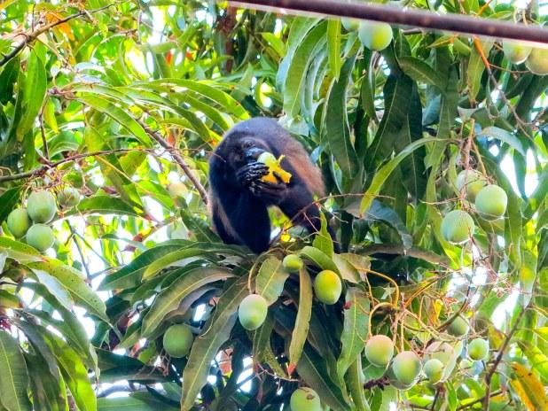 Mono aullador en Costa Rica