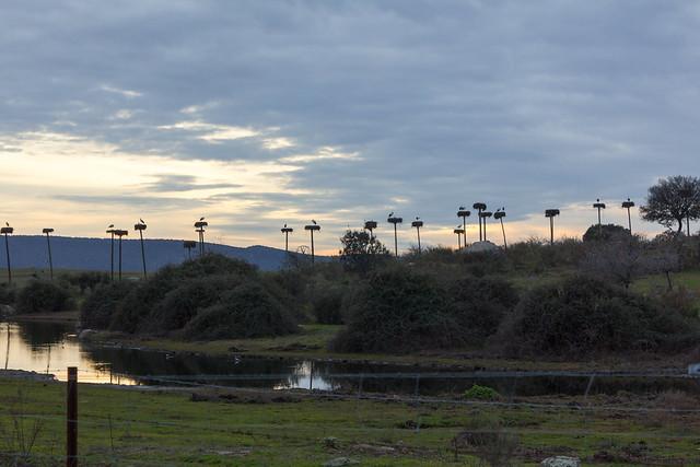 Las cigüeñas de Los Barruecos