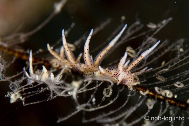 Eubranchus sp.