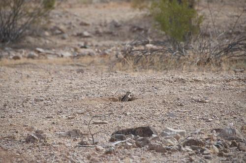 BGAFR -  groundhog