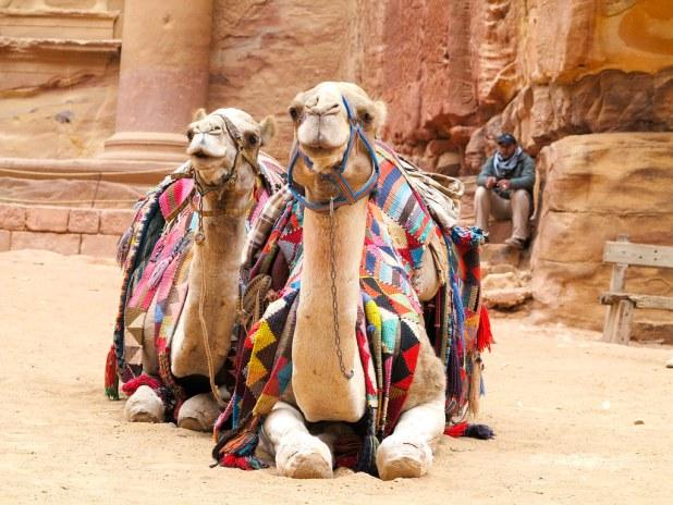 Camellos en El Tesoro