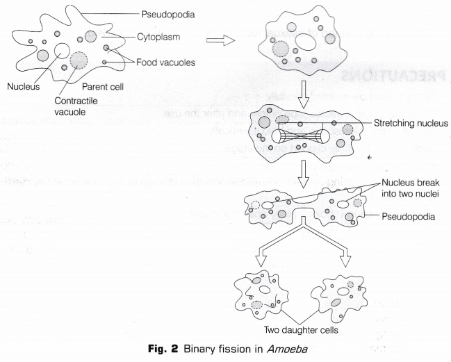 cbse class 10 science lab manual - binary fission in amoeba and budding in yeast