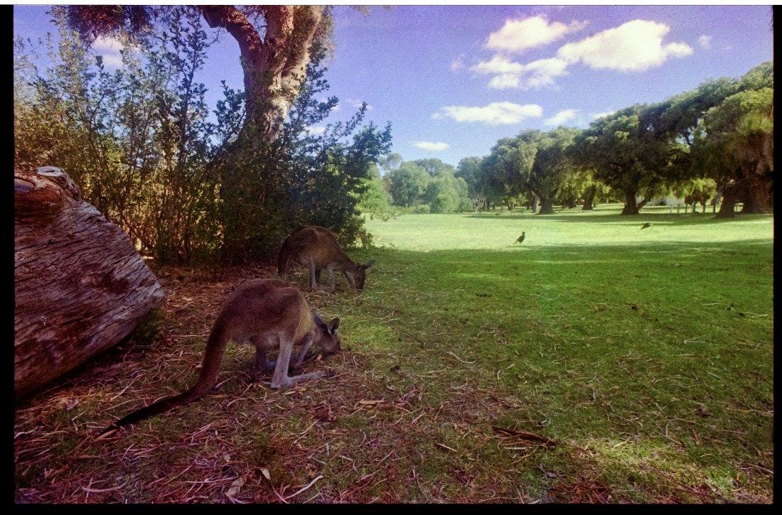 Kangaroos, nst, nst, nst... Kangaroos...
