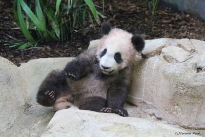 Bébé panda géant_YUAN MENG