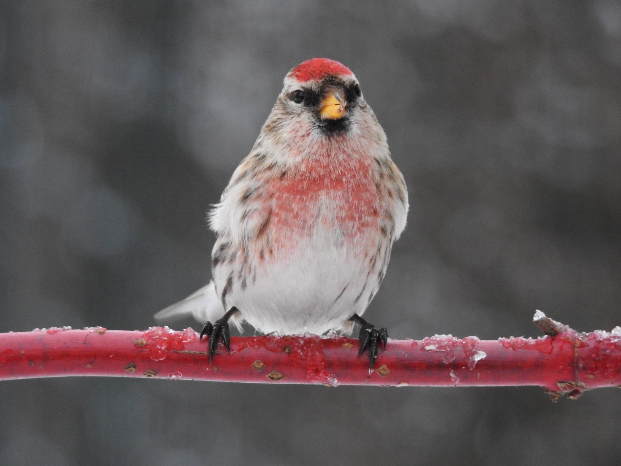 Common Redpoll ♂ (Acanthis flammea)