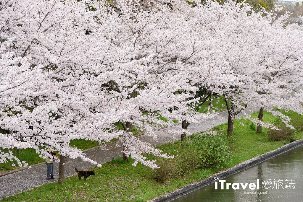 京都赏樱景点 伏见十石舟 (59)