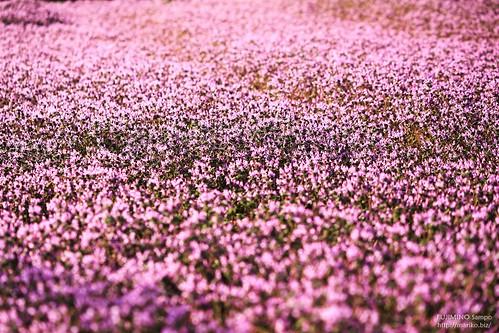 花のじゅうたん 20180317-IMG_5528 (2)