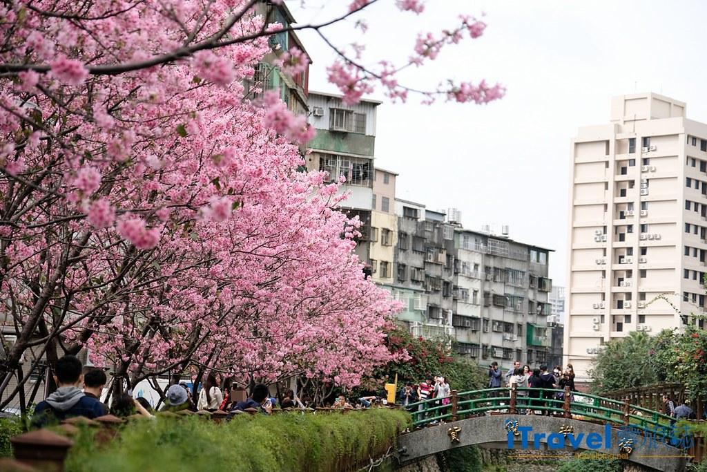 土城赏樱景点 希望之河左岸樱花 (1)