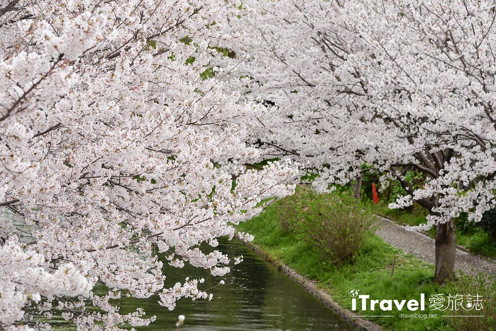 京都赏樱景点 伏见十石舟 (9)