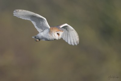 Watched this Barn owl catch two voles within 10 minutes tonight, hopefully sharing with a mate.