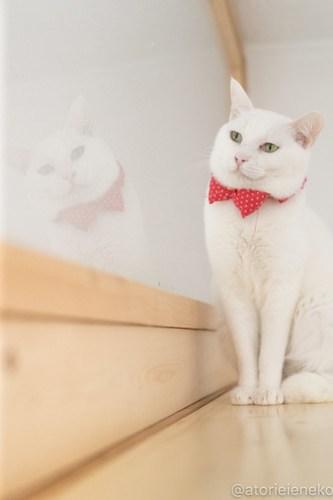 アトリエイエネコ Cat Photographer 40230994434_242a54e691 1日1猫!高槻ねこのおうち 里親様募集中のゆきちゃん♪ 1日1猫!  高槻ねこのおうち 里親様募集中 白猫 猫写真 猫 子猫 大阪 初心者 写真 保護猫 スマホ カメラ Kitten Cute cat