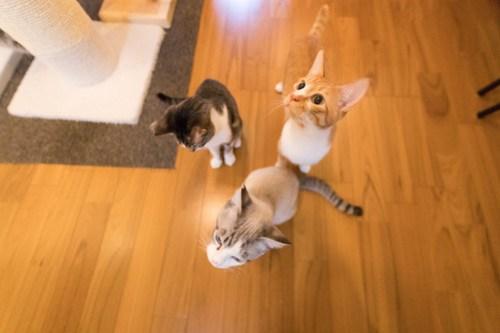アトリエイエネコ Cat Photographer 40261766244_f325228df8 1日1猫!保護猫カフェみーちゃ・みーちょ その2 1日1猫!  里親様募集中 猫写真 猫 子猫 大阪 保護猫カフェ 保護猫 スマホ カメラ みーちゃ・みーちょ Kitten Cute cat