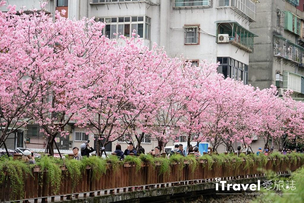 土城赏樱景点 希望之河左岸樱花 (7)