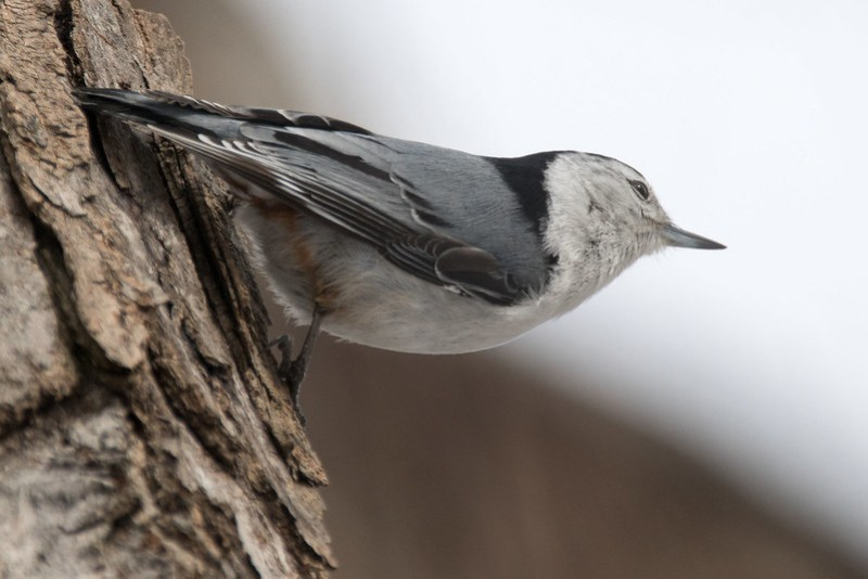 _8501221 White-breasted Nuthatch