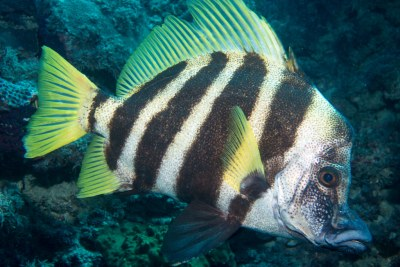 Striped Boarfish (Evistias acutirostris) #marineexplorer