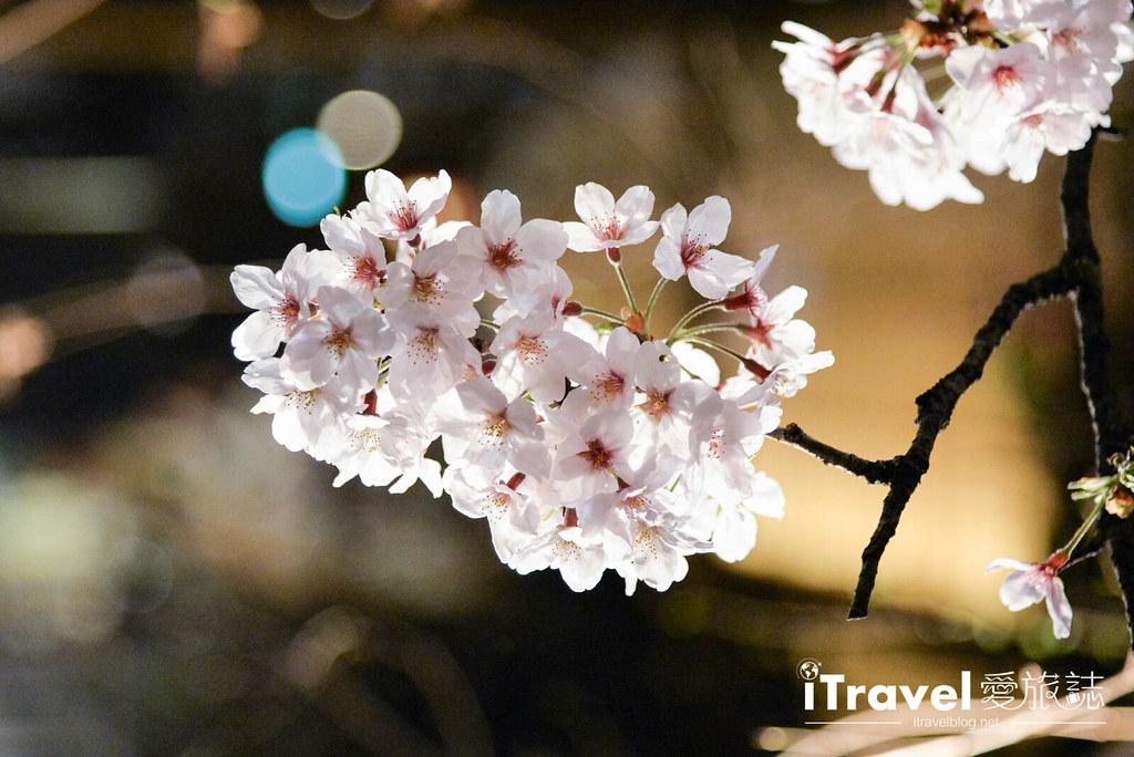 京都赏樱景点 祇园白川 (24)