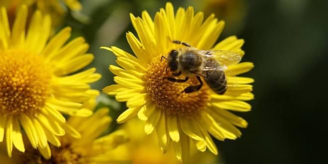 abeille_pelouse_2018