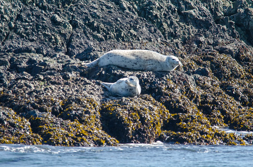Harbor Seals-004